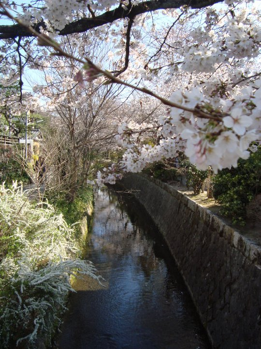 Cherry Blossoms at Philosophers Walk