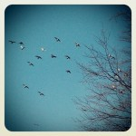 Birds in flight~ - Weston Park, Sheffield, UK.